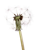 Last seeds on white dandelion plant. Old dandelion isolated on white background royalty free stock photography