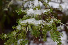 Last snow and ice early spring on a hemlock tree. Last snow and ice of early spring. Close-up view of a hemlock tree branch and needles covered in snow royalty free stock image