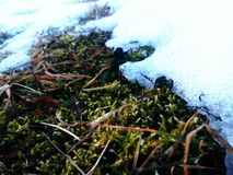 Last snow. On a moss Stock Photography