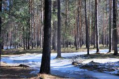 The last snow is in spring forest. Stock Image