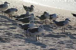 The last sunbath of the seagulls. At sunset the seagulls gather to take their last sunbath in front of the sea. The white area is the best place to rest royalty free stock images