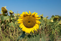 Last sunflower Royalty Free Stock Images