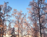Last sunlight in frosty trees. At winter evening Stock Photos