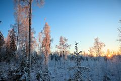 Last sunlight in frosty trees. At winter evening Royalty Free Stock Photo