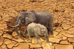 Global warming concept. The last surviving elephants on cracked earth background. Endangered concept, love concept, survival concept, global warming concept Stock Photos