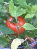 Last tomato of the season. Deck garden, potted vegetables Stock Photos