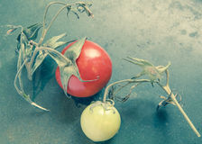 Last Tomatoes Royalty Free Stock Images