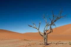 The last tree in the desert Royalty Free Stock Image