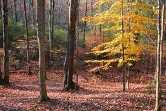 Last tree standing. Fall tree royalty free stock photography