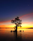 Last Tree Standing. Mangrove standing in an ocean near to a beach Stock Image