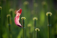 The last tulip Royalty Free Stock Photography