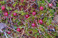 Last year cranberries in the moss in spring Royalty Free Stock Images