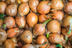 Last year harvest of onion after 6 months storing with fresh gre Stock Images