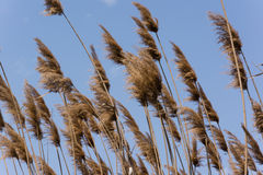 Last year's dry reeds. Near a creek in spring Royalty Free Stock Photography