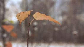 Last yellow birch leaves stock footage