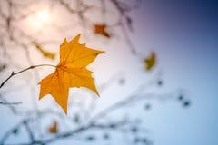 Last leaf of autumn stock image