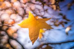Last leaf of autumn. Last yellow leaf on a branch of a tree on an autumn day in a park on a sunny day Stock Photography