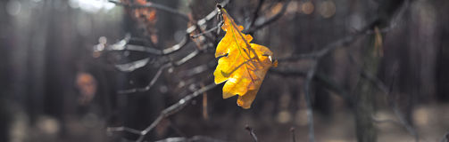 Last yellow leaf in dark autumn forest Royalty Free Stock Photography