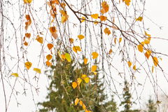 Last yellow leaves on branches of birch trees in late November Stock Image