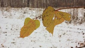 The last yellow leaves and the first snow stock video footage
