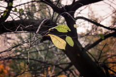 Last yellow leaves on tree branches in fall Stock Images