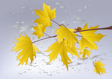 Last yellow maple leaves Stock Photography