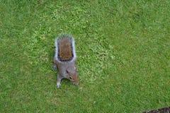 Lastige eekhoorn Stock Afbeelding