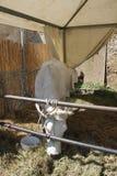 Chianina cow eating hay Stock Photo