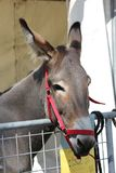 Muzzle close-up of a brown donkey. LASTRA A SIGNA, ITALY - AUGUST 30 2015: Muzzle close-up of a brown donkey with red head collar Royalty Free Stock Photography