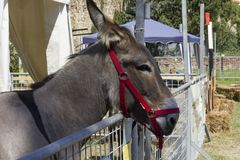 Muzzle close-up of a brown donkey. LASTRA A SIGNA, ITALY - AUGUST 30 2015: Muzzle close-up of a brown donkey with red head collar Stock Photos