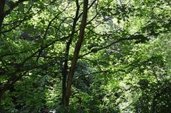 Lasu światło Obrazy Royalty Free