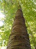 Lasu drzewo Fotografia Royalty Free
