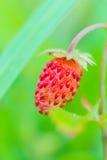 Lasu Fragaria truskawkowego vesca jaskrawa czerwona owoc Obraz Stock