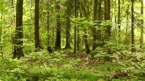 Lasu Gładki i wolny dźwigowy krzywka strzał Czysty i jaskrawy dzień zdjęcie wideo