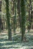 Lasu i bluszcza drzewa w lesie Zdjęcia Royalty Free