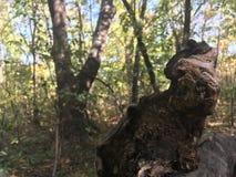 Lasu korzeń spadać drzewo Fotografia Royalty Free