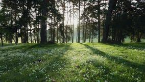 Lasu krajobraz i ranek mgła w wiosny wideo, ptaki gwizdamy zdjęcie wideo