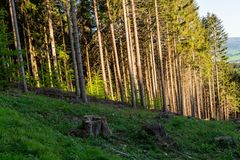 Lasu krajobraz - lasowi drzewa z trawą na przedpolu i zmierzchu lekkim jaśnieniem przez lasowych drzew Zdjęcie Royalty Free