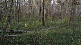 Lasu krajobraz z brzozy belą zakrywającą z mech zbiory wideo