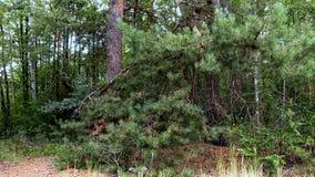 Lasu krajobraz z sosnami i brzozami na letnim dniu Obrazy Stock