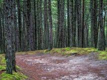 Lasu ślad w Slowinski parku narodowym, Polska Zdjęcie Royalty Free