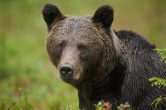 Lasu niedźwiedź Obrazy Royalty Free