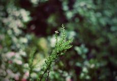 Lasu różowy wrzos Zdjęcia Royalty Free