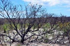Lasu understory odtwarzać po bushfire zdjęcia royalty free