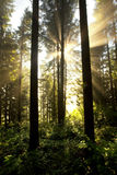 lasu wschód słońca krajobrazowy mglisty Zdjęcie Stock