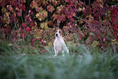 LasVegas jack russel terrier. My dog is named Las Vegas Stock Photography