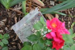 Laszowanie biedronki w ogródzie zdjęcia royalty free