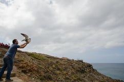 Laszowanie cory ` s shearwater zdjęcie stock