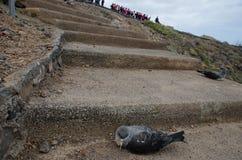 Laszowanie cory ` s shearwaters zdjęcia stock