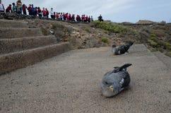 Laszowanie cory ` s shearwaters zdjęcie stock